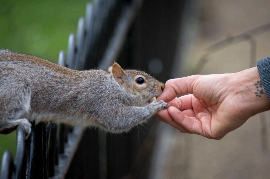 The image is in landscape aspect and is of a grey squirrel leaning forward to take a nut from a hand. The image has the hand and squirrels face in focus. The squirrel's back legs on the far left of the image are gripping on to black iron railings. At the far right of the image the person's grey sleeve can be seen, underneath on the inside of their wrist along with fine blue veins there is a tattoo of two animal paws. The squirrel's fur is grey with brown patches on its face and ears. It's eye is bright, black and shiny. It's paw is gripping a nut and the person's finger that is offering it.The nut is already in the squirrels mouth.