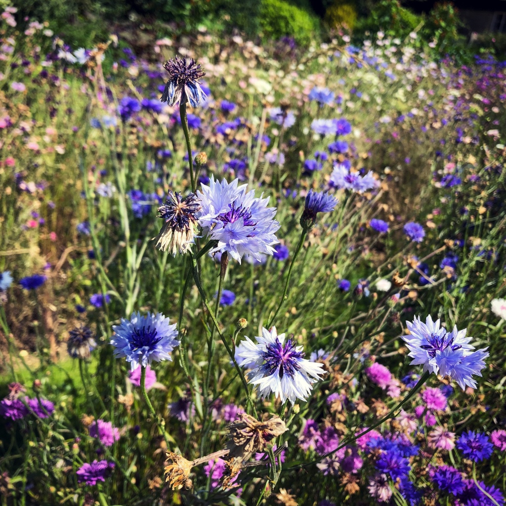 An image of bright blue cornflowers amongst green stems and smaller pink flowers.